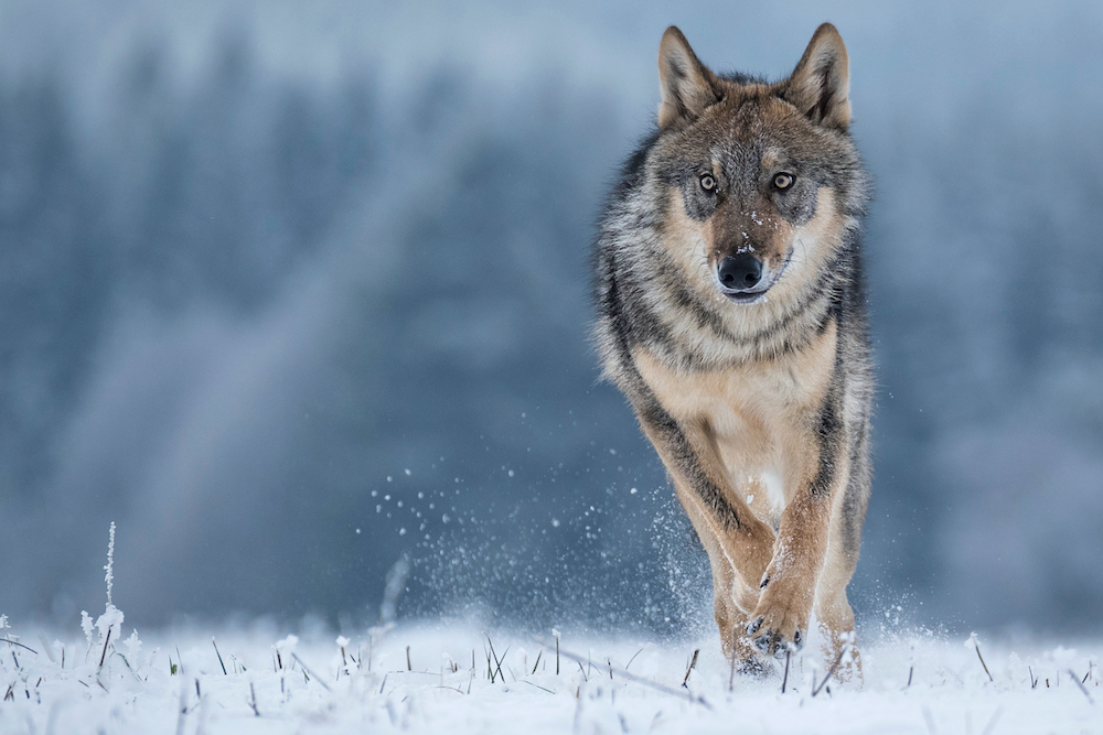 Ojibwe Tribes Sue Wisconsin for Treaty Violations Over Wolf Hunt